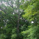 Large Tree Climbing Job